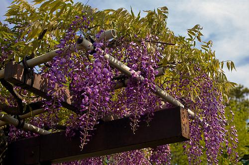 Jak Vybrat Vhodnou Pop 237 Navou Rostlinu Na Pergolu Zeď či